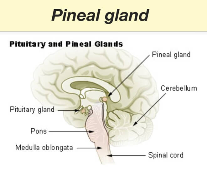 What Is The Pineal Gland?