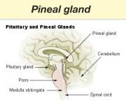 Pineal Gland Photo