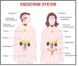 photo of endocrine symptem