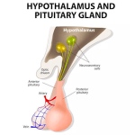 PITUITARY GLAND LOCATION