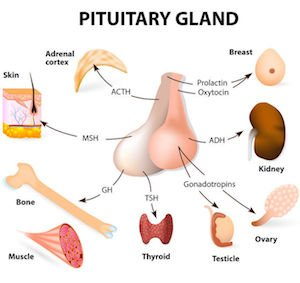 parts of the pituitary gland