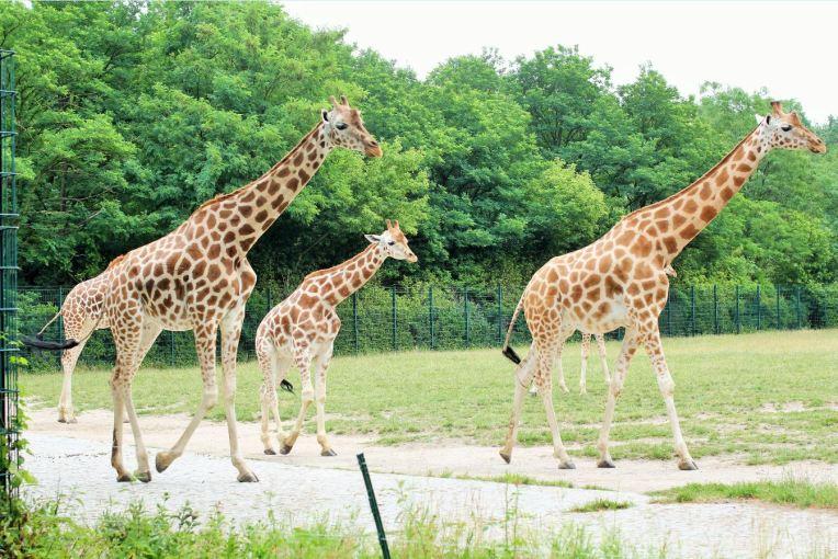 girafe tierpark berlin