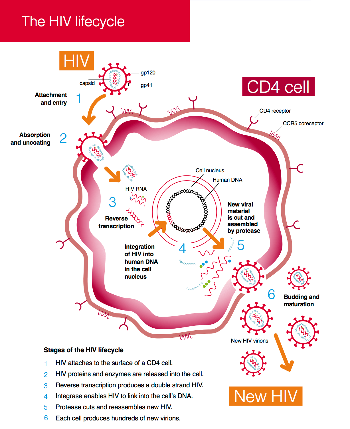 The Hiv Lifecycle