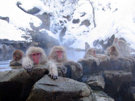 Macaque monkeys taking a bath in the Jigokudani hotspring in Nagano, Japan