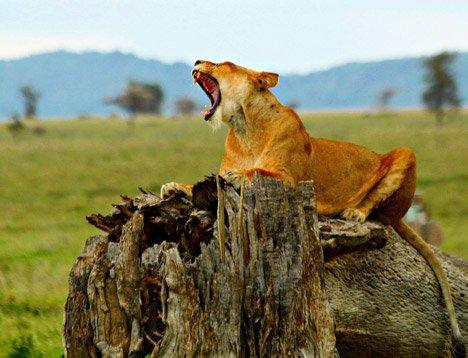 Lioness Ngorongoro Crater