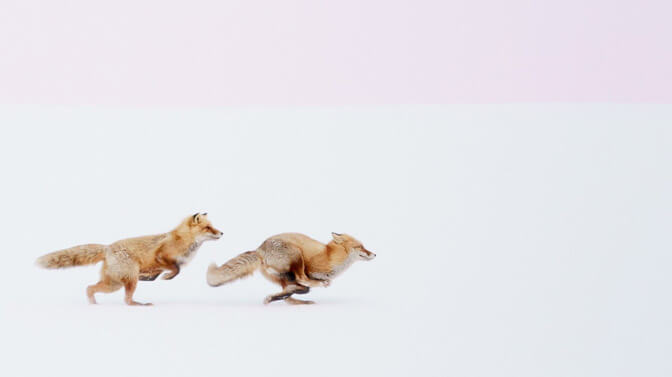 National Geographic travel photos year foxes