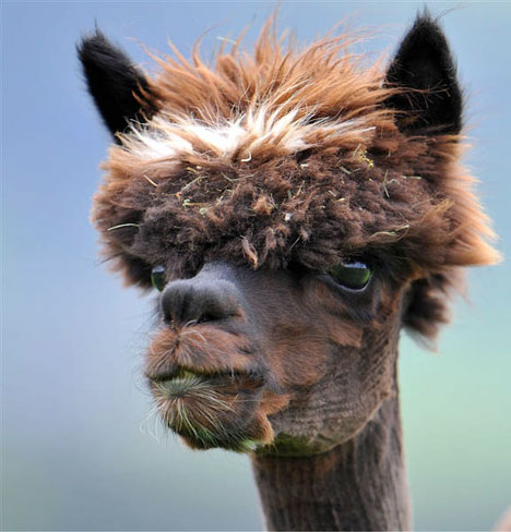 Funny Peruvian Llamas Shaved Llamas