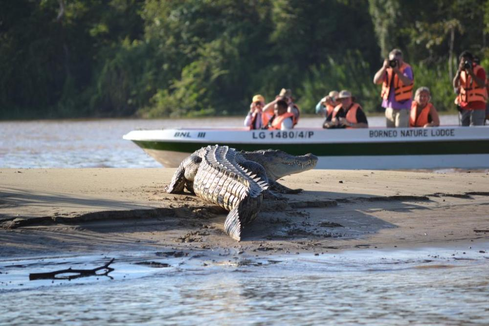 Borneo Nature Lodge. Crocodile on a sand bank at Kinabatangan River.