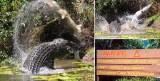 cape york peninsular crocodile eats crocodile
