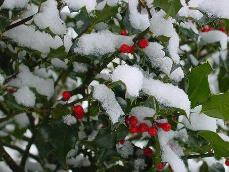 Зимой, Падуб, Холли, Фруктов, Красный