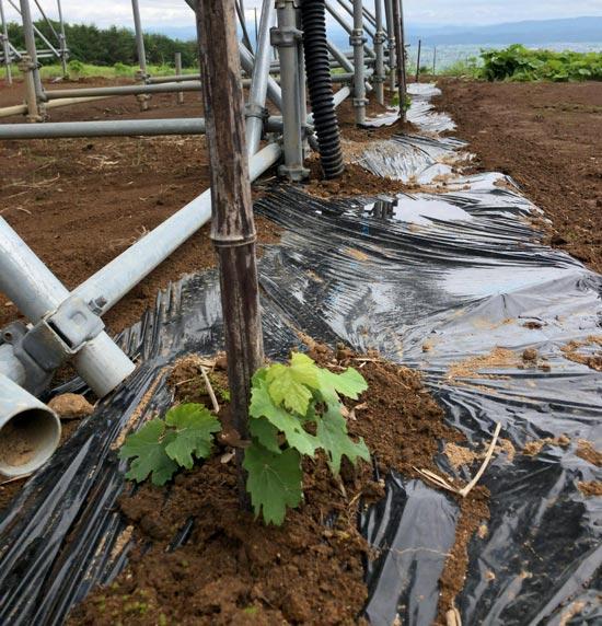雄国太陽光発電所の葡萄苗木