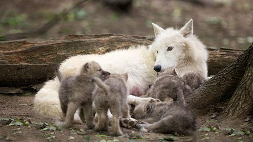 drömma om vargar