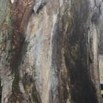 樹齢300年!?ケヤキの巨木伐採