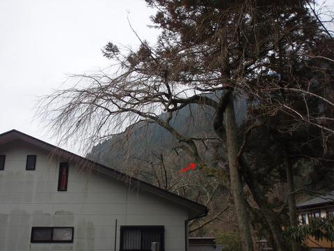 桜の枝下し1