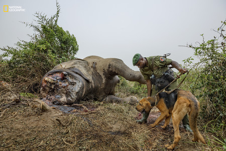 Virguna Elephant Poaching