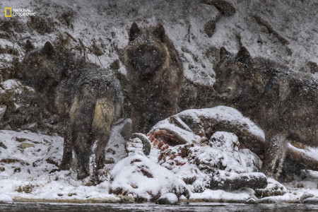 Wolves Feeding Bison