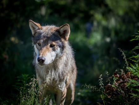 El Lobo Est Regresando A La Mayora De Pases De Europa