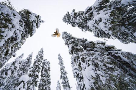 C Lasse Kurkela Wildlife Photographer Of The Year