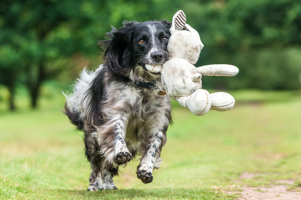 Dpoty Dogs At Play 3rd C Will Holdcroft Kennel Club
