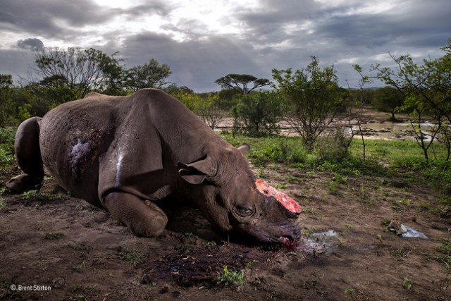 Memorial To A Species Brent Stirton Wildlife Photographer Of The Year