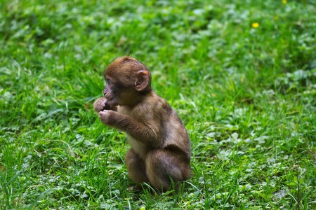 Young Barbary Macaque 3528984 1920