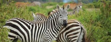 """El animal más """"peligroso"""" del Zoo no son ni los leones, ni los osos, ni las serpientes venenosas: son las cebras"""