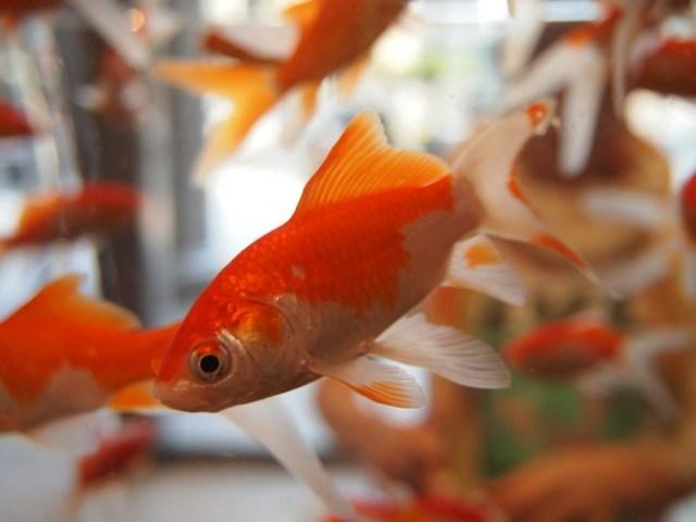 Goldfish 178579 1280