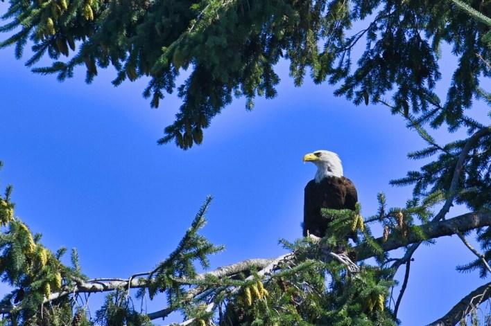 La misteriosa muerte de las águilas calvas: acabamos de descubrir qué lleva 25 años causando estragos entre las aves de América del Norte