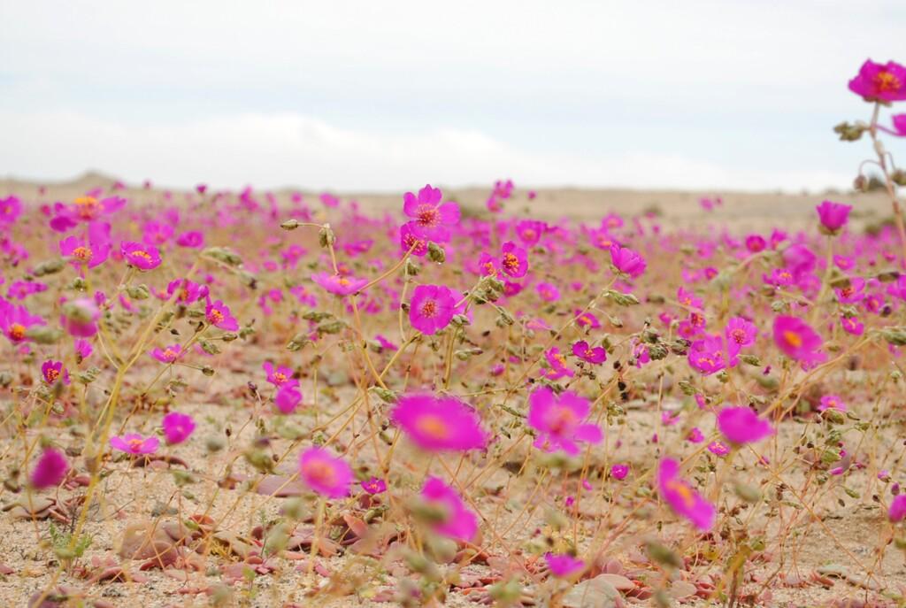 La lluvia en Atacama es una maravilla: así es el increíble fenómeno del