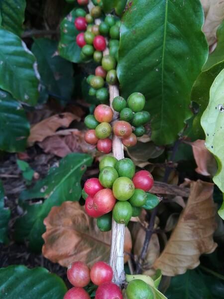 Plantación de café de las instalaciones de La Mayora.