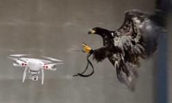 ¿Recuerdan las águilas caza drones? Pues la policía holandesa ha decidido retirarlas porque no obedecen