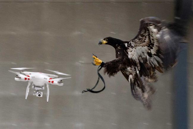 Permalink to ¿Recuerdan las águilas caza drones? Pues la policía holandesa ha decidido retirarlas porque no obedecen