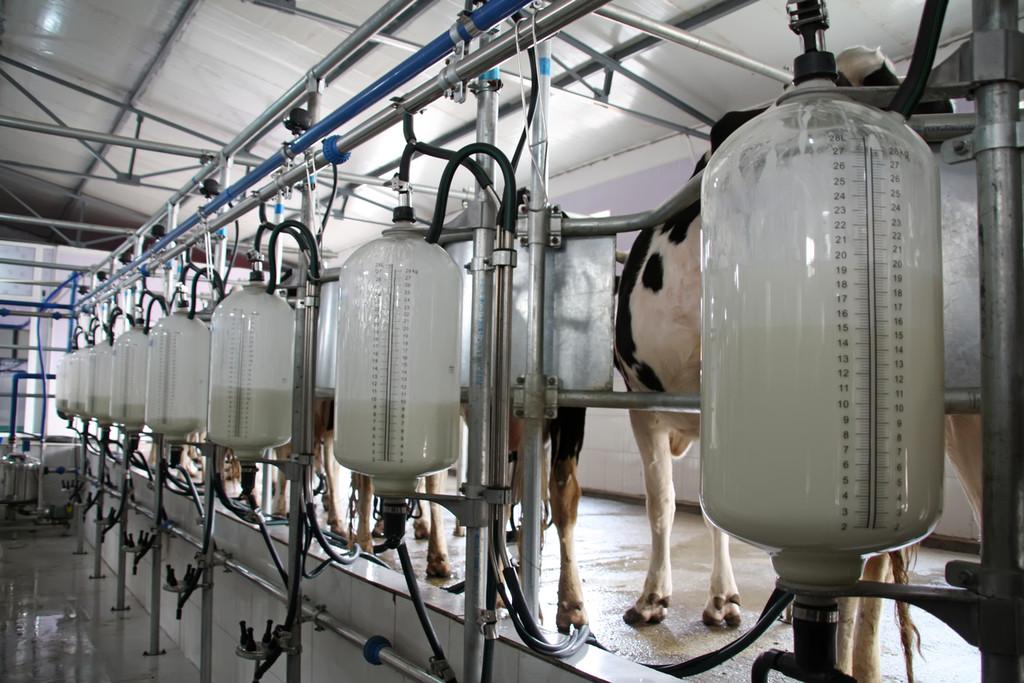 leche-vacas-lactosa