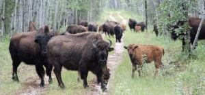 Bison on the road in Wood Buffalo National Park