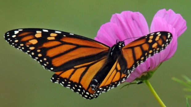 Point Pelee normally sees hundreds of monarchs fly along their beaches every hour and cluster in treetops at night.