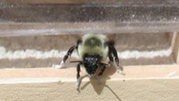 The natural pesticides bumblebees carry are not harmful to humans or the bee.