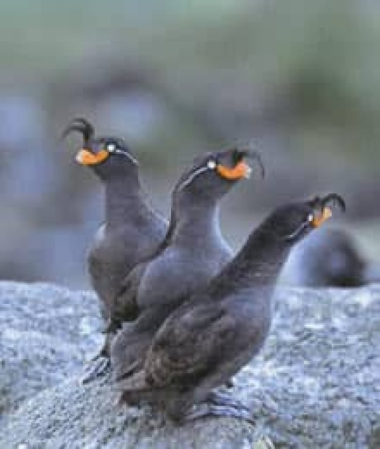 Maritime organization approves two-way shipping routes in Bering Strait crested auklets050728