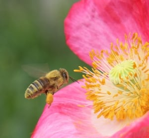 Honeybee at a poppy