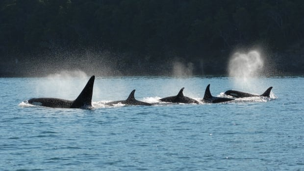 Killer whales live in social groups called pods. Both males and females stay with their mothers for their entire lives.