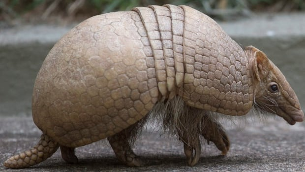 A Texas man was injured after he tried to shoot an armadillo and the bullet bounced off the animal's shell, striking the man in the jaw.