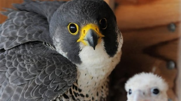 The peregrine falcon has seen exponential growth in southern Quebec in the past 35 years.