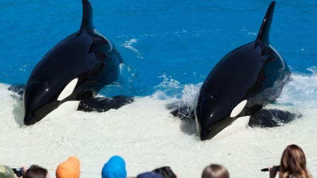 Trainers have Orca killer whales perform for the crowd  during a show at  SeaWorld in 2014. A U.S. group wants to build a sanctuary for animals like these, possibly on the B.C. coast.