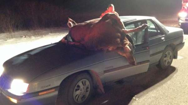 Moose goes through car windshield, but driver survives ...