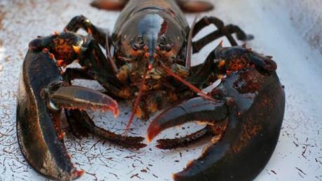 「lobster」の画像検索結果