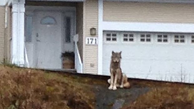 Bonnie Rudderham said this wolf stalked and chased her while she was walking her dog near Prince Rupert's waterfront.