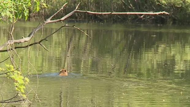 http://www.cbc.ca/news/canada/toronto/capybara-live-toronto-video-1.3628334 (Mike Heenan/CBC)