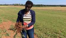 Dr, Judith Nyiraneza shows the roots on the sorghum sudangrass, one of the plant's important features for improving soil quality.