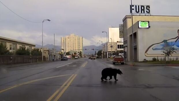 Out Of The Wild Police Chase Bear Through Anchorage