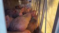 Pigs rollover Burlington
