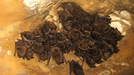 Bat Hibernacula found in northern Alberta